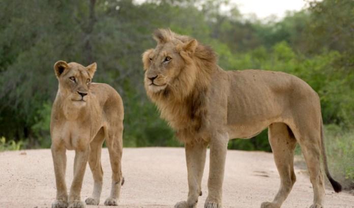 DIA-LIONS
