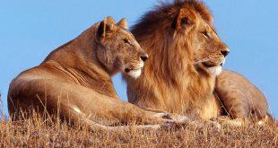 DIA-Lion