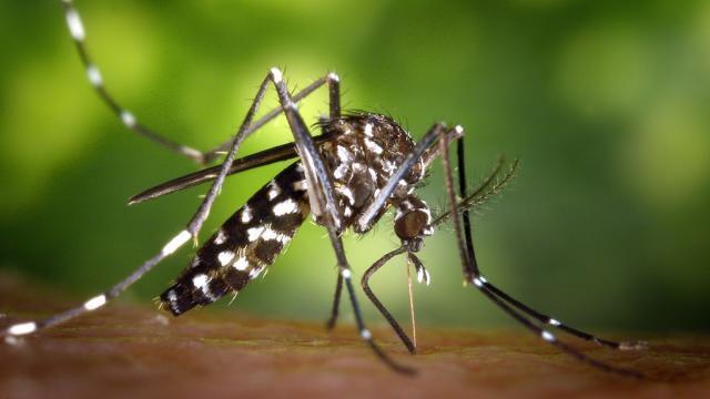 DIA-moustique-tigre